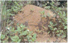 ヒアリのアリ塚の写真